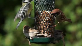 Bird feeder with birds. Sparrows and great tit getting peanuts from a bird feeder stock video