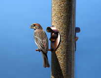 Bird at Feeder Stock Images