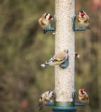 Goldfinches. Stock Photos