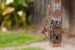 Bird Feeder and House Finch Bird. House Finch bird balancing on a hanging bird feeder Stock Photo
