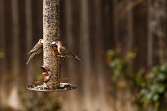 Bird Feeder and House Finch Birds Stock Photography