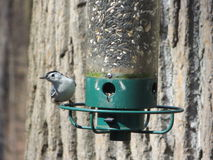 A Bird Feeder's Customer. This photo was taken in Maryland.  This particular bird feeder is quite interesting because it is built so that squirrels can't get Stock Images