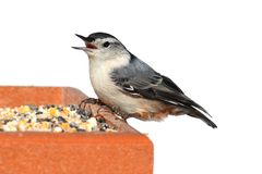 Bird On A Feeder on White Stock Photography