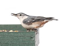 Bird On A Feeder on White Stock Images