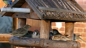 Bird feeders. Sparrows and tomtit in a bird feeders stock video footage