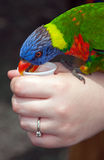 Lorikeet Bird Feeding Stock Photo