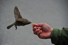 Bird feeding Royalty Free Stock Photo