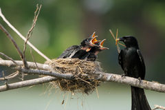 Bird feeding. Birds feeding chicks in nest Stock Images