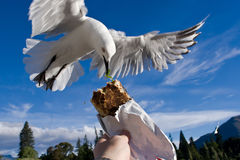 Bird feeding Royalty Free Stock Photo