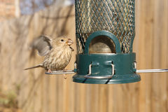 Bird feeding at backyard feeder Royalty Free Stock Photography