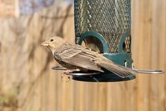 Bird feeding at backyard feeder. Bird eating at a backyard bird feeder Stock Image