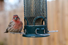 Bird feeding at backyard feeder Royalty Free Stock Image