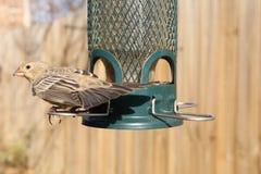 Bird feeding at backyard feeder. Bird eating at a backyard bird feeder Stock Photo