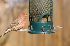 Bird feeding at backyard feeder Stock Photos