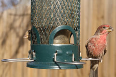Bird feeding at backyard feeder Royalty Free Stock Photo