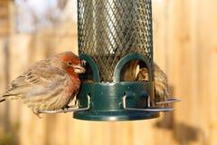 Bird feeding at backyard feeder. Bird eating at a backyard bird feeder Royalty Free Stock Images