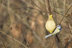 Bird feeding Stock Image