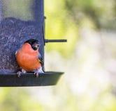 Bird feeding. A Bullfinch feeding from a feeder stock photos