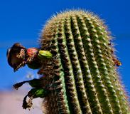 Bird feeding on cactus fruit stock photos