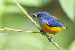 Bird Feeding. A cute Orange-bellied flowerpecker is feeding himself with a wild fruit found in primary and secondary forest in Malaysia showing up for it profile Royalty Free Stock Images