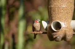 Bird feeding from feeder Royalty Free Stock Photography