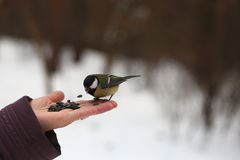 Bird feeding from hand Royalty Free Stock Photos