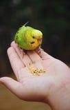 Bird feeding hand. Green-yellow bird is fed on palm Royalty Free Stock Image