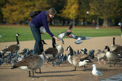 Bird feeding in Hyde Park, London in autumn. Royalty Free Stock Photos