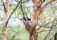 Common Grackle on the nest royalty free stock images
