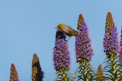 Bird feeding on nectar from flowers. Bird feeding on nectar from pride of madeira flowers Stock Image