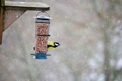 Bird feeding in snow. Bird feeding with snow falling stock images
