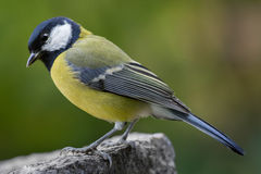 Bird feeding sunflower seeds from the feeder. Royalty Free Stock Images