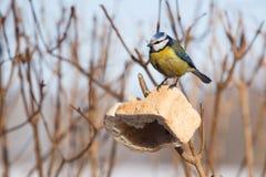 Bird feeding in winter. Bird feeding in cold winter Royalty Free Stock Photos
