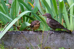 The bird feeds the chick that flew out of the nest. Natural habitat. The bird feeds the chick that flew out of the nest. Common blackbird, Turdus merula stock image