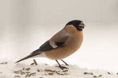 Bird: Female bullfinch Royalty Free Stock Photos