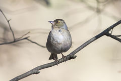 The bird is a female Chaffinch singing in the forest in spring Royalty Free Stock Image