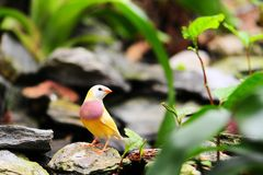 Bird: Female Gouldian Finch Royalty Free Stock Photo