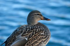 Bird, female mallard duck. Close up, with in background, blue water Royalty Free Stock Images