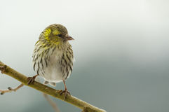 Bird Female siskin (Carduelis spinus) Royalty Free Stock Image