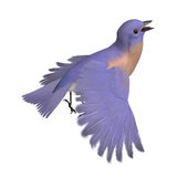 Bird Female Western Bluebird. 3D rendering with. Clipping path and shadow over white Stock Images