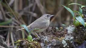 Bird female White-bellied Redstart (Luscinia phaenicuroides) eating worms on a branch stock video