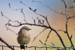 Bird on the fence Stock Image