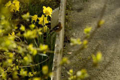 Bird on a Fence. Just hanging out amongst the daffodils and forsythia. Bunratty Castle grounds, Ireland Stock Photo