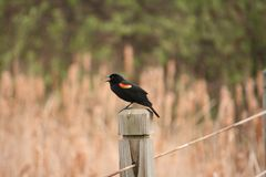 A bird on a fence post. royalty free stock photography