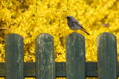 Bird on a Fence Royalty Free Stock Photo