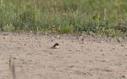 Bird on field.Sparrow bird on nature royalty free stock photo