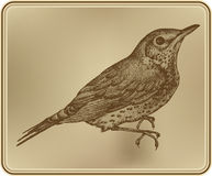 Bird fieldfare, hand-drawing. Vector illustration. Royalty Free Stock Photography