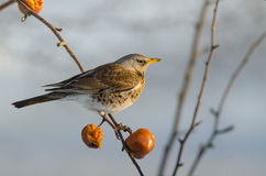 Bird Fieldfare (Turdus pilaris) Royalty Free Stock Images