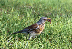 Bird fieldfare, Turdus pilaris, on the grass in the park Stock Images