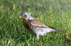 Bird fieldfare, Turdus pilaris, on the grass in the park Stock Photography